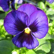 violette africane