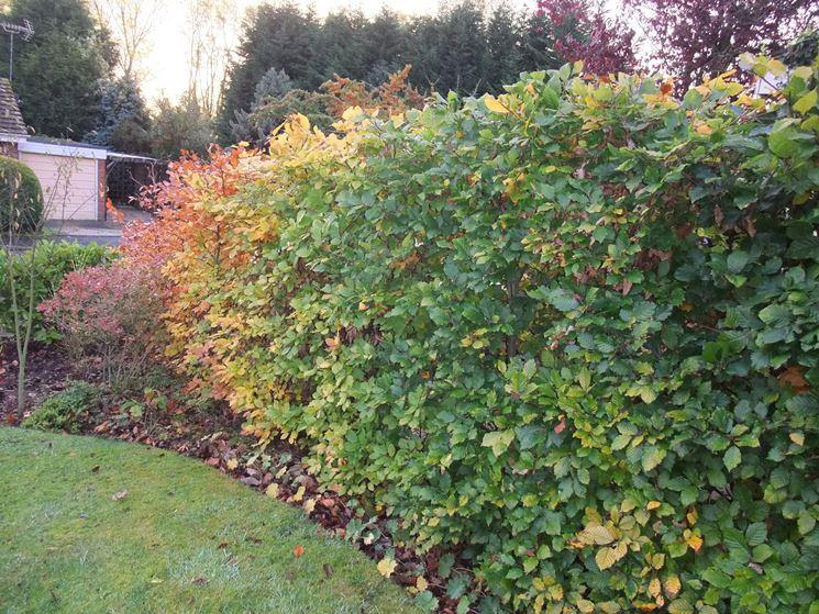 Siepi miste e informali piante da giardino siepi miste for Piante per siepi