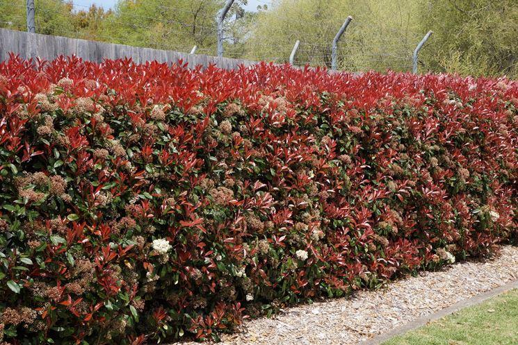 Siepi miste e informali piante da giardino siepi miste for Fiori sempreverdi da giardino