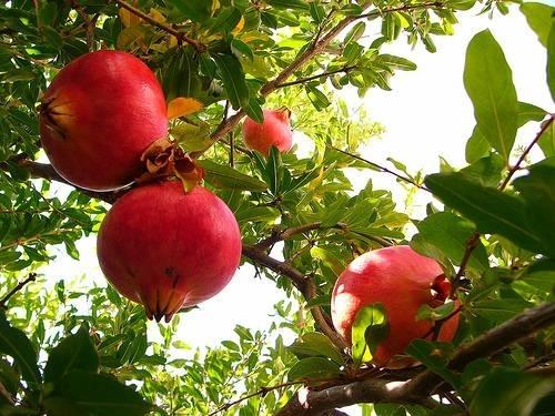 Alberi da frutto - Piante da Giardino
