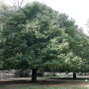 grandi alberi da giardino