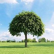 alberi da giardino piccoli