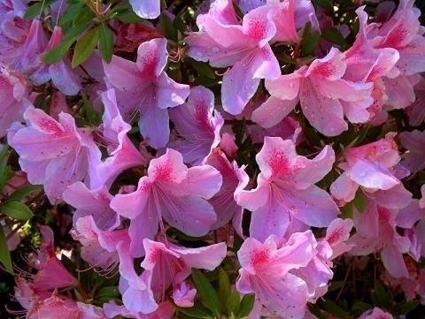 Azalea potatura piante da giardino tutto sull 39 azalea - Azalea da interno ...