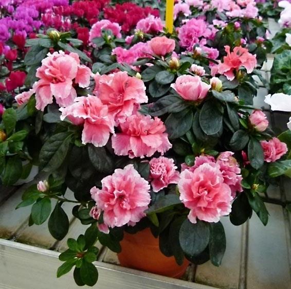 Azalea potatura piante da giardino tutto sull 39 azalea - Azalea pianta da interno o esterno ...