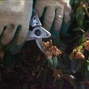 potatura azalea