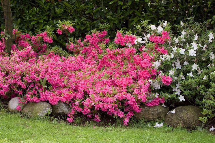 Azalea piante da giardino arredare casa e giardino con - Azalee da esterno ...