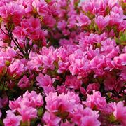 azalea piante da giardino arredare casa e giardino con