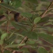 azalea coltivazione