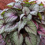 begonia dragon