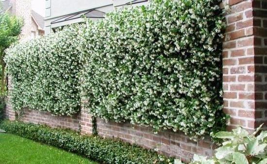Caprifoglio rampicante piante da giardino le for Piante rampicanti