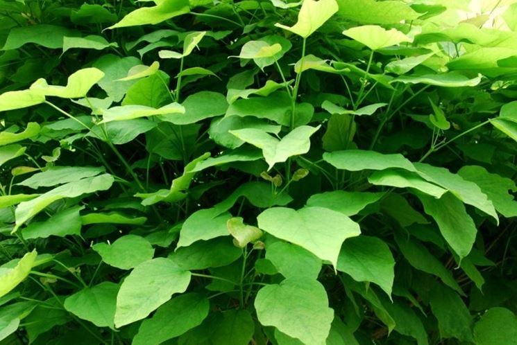 catambra repellente antizanzare naturale piante da