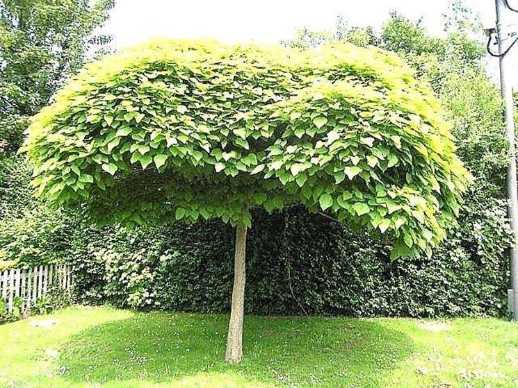 Catambra repellente antizanzare naturale piante da - Piante x giardino ...