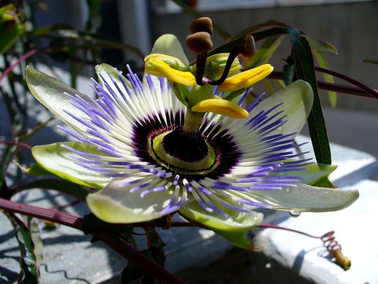 Coltivare le piante rampicanti piante da giardino - Piante rampicanti da interno ...