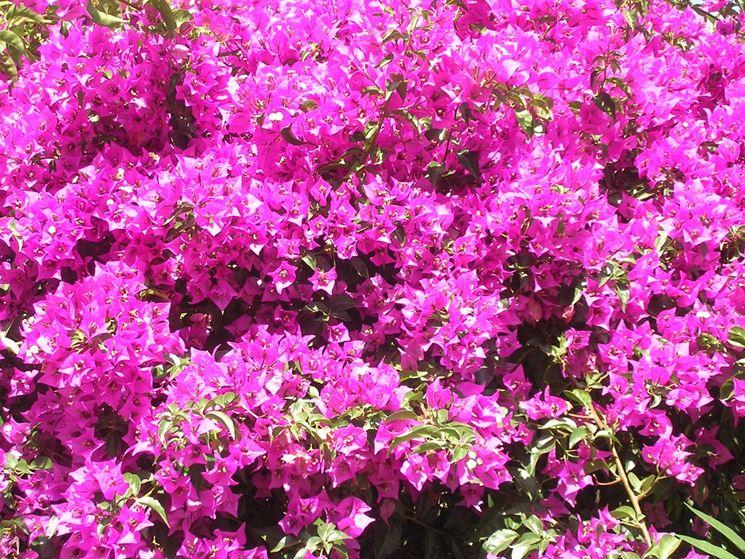 Coltivare le piante rampicanti piante da giardino for Fiori sempreverdi da giardino