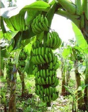 Coltivazione banano piante da giardino for Albero di banane