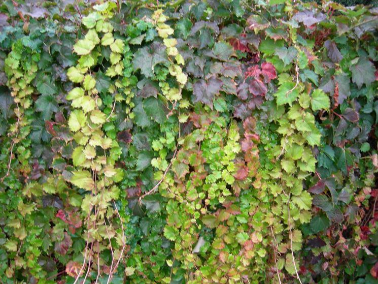 Edera rampicante piante da giardino for Piante da giardino rampicanti