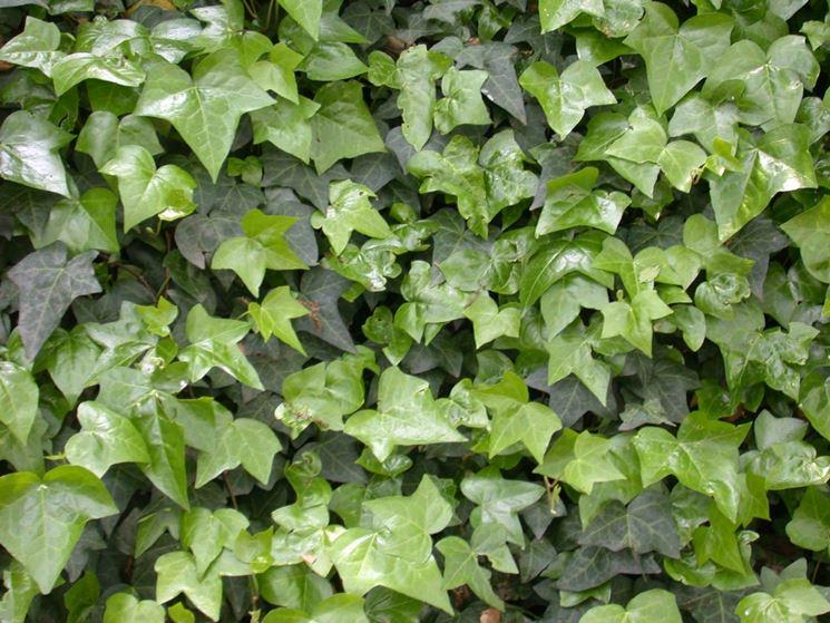 Edera rampicante piante da giardino - Edera da interno ...