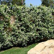 edera rampicante crescita veloce