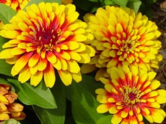 Fiori da giardino piante da giardino le for Tipi di fiori