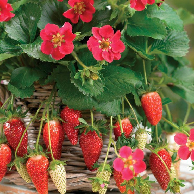 Fragole rampicanti piante da giardino for Piante da giardino soleggiato