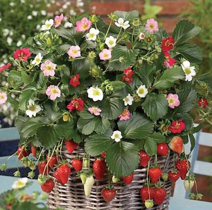 Fragole rampicanti piante da giardino for Pianta di fragole