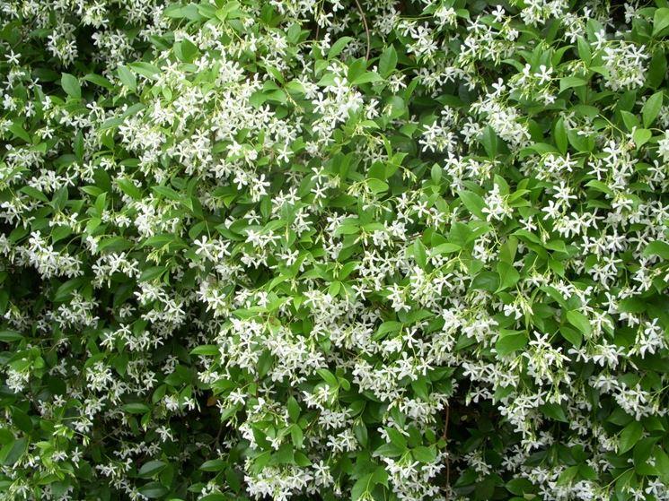Gelsomino rampicante piante da giardino le for Piante rampicanti in vaso