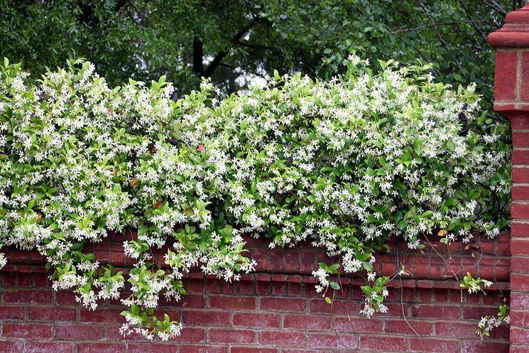 Gelsomino rampicante piante da giardino le for Fiori sempreverdi da giardino