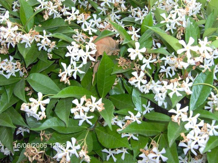Gelsomino piante da giardino le principali for Fiori sempreverdi da giardino