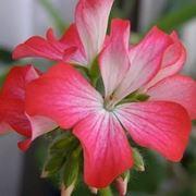 fiore gernaio