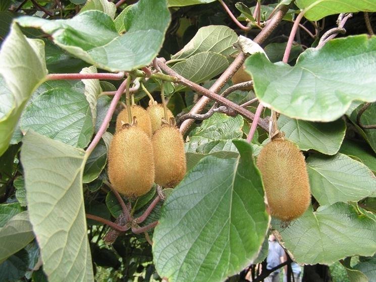 kiwi coltivazione piante da giardino come coltivare il