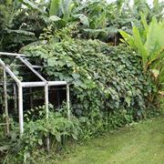 kiwi coltivazione