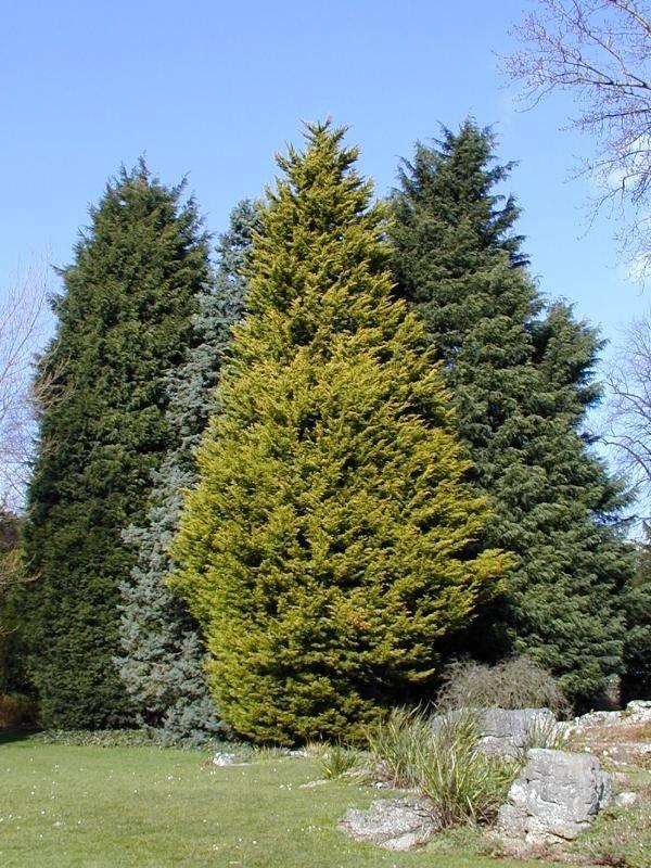 Le conifere piante da giardino for Le piante da giardino