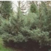 conifere da giardino