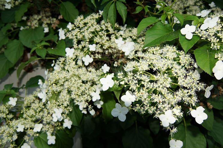 Ortensia rampicante piante da giardino ornare con l for Piante da giardino rampicanti