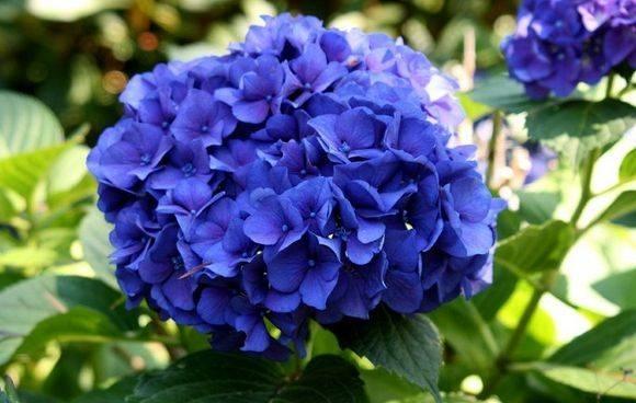 Ortensia riproduzione piante da giardino for Colore ortensia