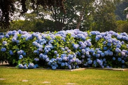 Ortensie coltivazione piante da giardino for Piante da giardino grandi
