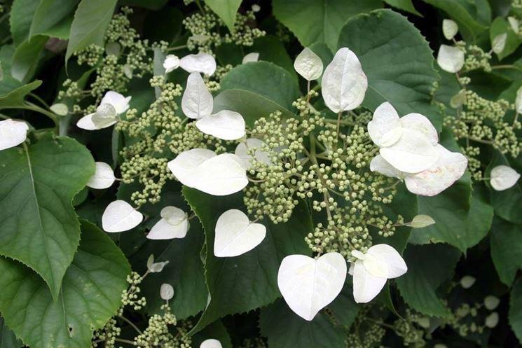 Ortensie rampicanti piante da giardino for Piante da giardino rampicanti