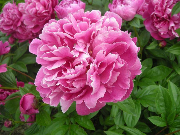 Peonie coltivazione piante da giardino for Peonie periodo