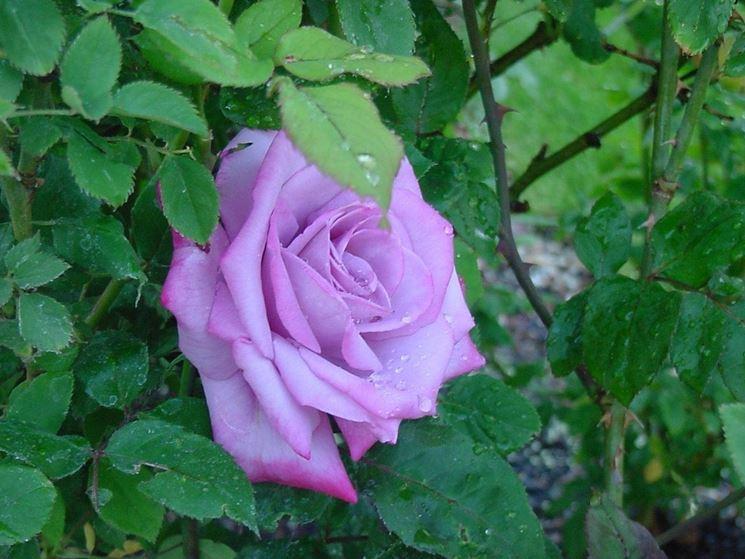 Piantare le rose piante da giardino for Rose da giardino
