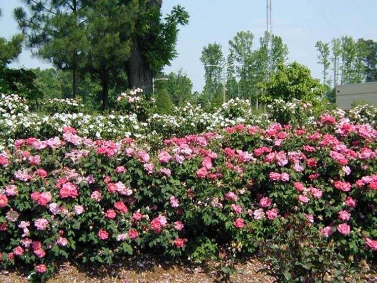 piantare le rose piante da giardino