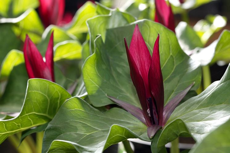 abbastanza piante all ombra - Piante da Giardino AK03