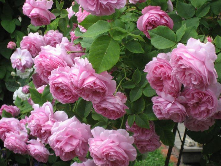 Rose antiche piante da giardino for Fiori da giardino