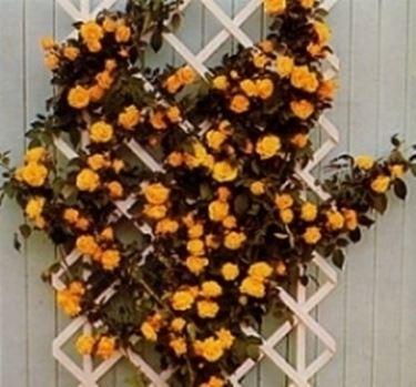 Rose rampicanti piante da giardino for Piante rampicanti in vaso