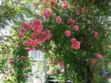 Rose rampicanti piante da giardino for Rose da giardino