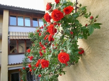 Rose rampicanti piante da giardino for Piante da giardino rampicanti