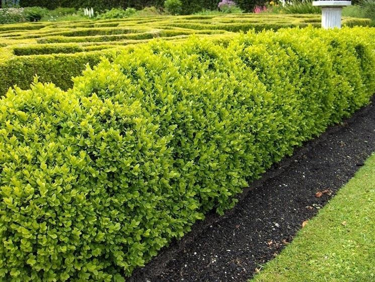 Siepi da giardino piante da giardino for Bosso siepe