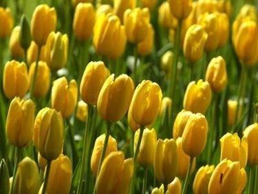 tulipani in vaso