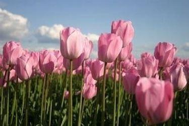 pianta di tulipani