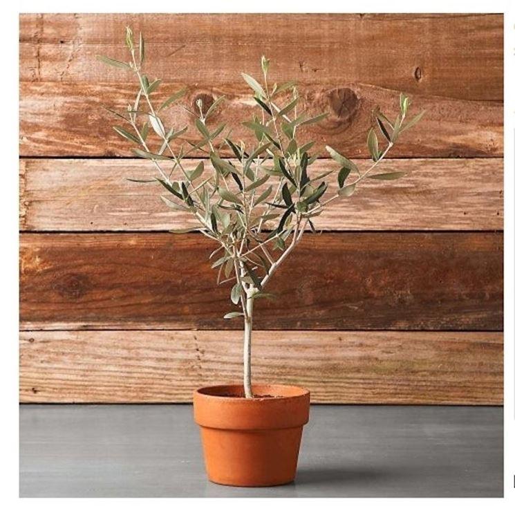 coltivare ulivo in vaso