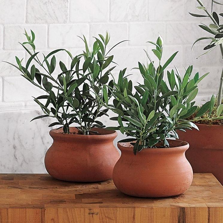 Ulivo in vaso piante da giardino coltivare ulivi in vaso for Vasi per bonsai prezzi